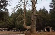 كورو ... شجرة باسقة وقردة متآلفة