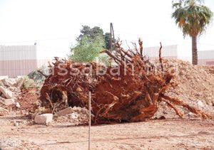 الحرب  متواصلة على الأشجار المعمرة بفاس