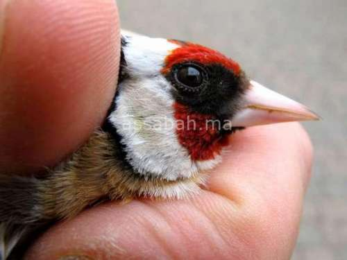 باعة الطيور بالناظور يهددون بالانتحار