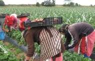 عاملات التوت... جاريات بإسبانيا
