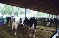 استيراد الأبقار رفع إنتاج الحليب