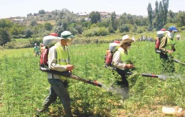 مطالب بالعفو عن 80 ألف مزارع للكيف