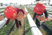 خبراء يتدارسون آليات حماية عاملات الفراولة